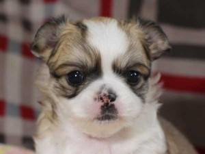 チワワロングコート子犬販売情報、レッド&ホワイト、男の子(オス)、2015年3月23日生れ、東京都(23区)ブリーダー、ID8439。