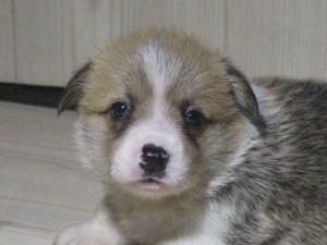 ウェルシュコーギーペンブローク子犬販売情報、レッド&ホワイト、男の子(オス)、2015年5月29日産まれ、神奈川県ブリーダー、ID8699