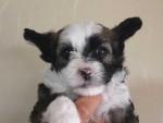 チャイニーズクレステッドドッグ、クリーム系、パウダーパフタイプ、女の子(メス)、2015年6月23日産まれ、千葉県ブリーダー、ID8804