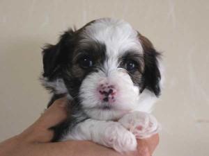 チャイニーズクレステッドドッグ、クリーム系、パウダーパフタイプ、男の子(オス)、2015年6月23日産まれ、千葉県ブリーダー、ID8805