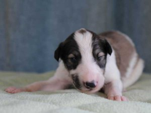 ボルゾイ子犬販売情報、男の子(オス)、ホワイト&レッド、2015年10月3日生れ、神奈川県ブリーダー、ID9207
