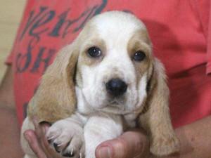バセットハウンド子犬販売情報、女の子(メス)、レモンカラー、2015年8月29日生れ、神奈川県ブリーダー、ID9214