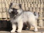 キースホンド子犬販売情報、男の子(オス)、グレー、2015年8月7日生れ、東京都ブリーダー、ID9262