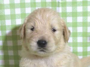 ゴールデンレトリーバー子犬販売、ゴールド、男の子(オス)、2015年10月24日生れ、千葉県ブリーダー、ID9261