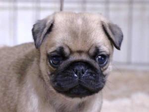 パグ子犬販売、フォーン、男の子(オス)、2015年12月2日産まれ、千葉県ブリーダー、ID9544