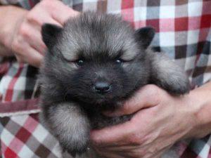 キースホンド子犬販売情報、ウルフグレー、男の子(牡、オス、Male)、2016年7月13日生れ、東京都ブリーダー、ID10080