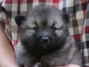 キースホンド子犬販売情報、ウルフグレー、女の子(牝、メス、Female)、2016年7月13日生れ、東京都ブリーダー、ID10083
