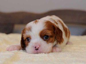キャバリアキングチャールズスパニエル子犬販売情報、女の子(牝、メス、Female)、ブレインハイム、2016年9月6日生れ、神奈川県ブリーダー、ID10319
