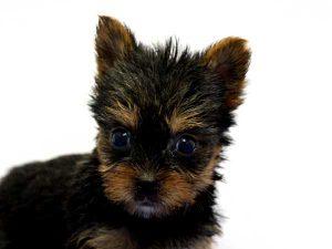ヨークシャーテリア(ヨーキー)子犬販売情報、女の子(牝、雌、メス、Female)、スチールブルータン、2016年8月24日生れ、神奈川県ブリーダー、ID10327