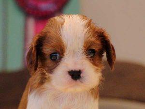 キャバリアキングチャールズスパニエル子犬販売情報、男の子(牡、オス、Male)、ブレインハイム、2016年9月22日生れ、神奈川県ブリーダー、ID10314