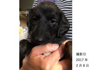 アフガンハウンド子犬販売情報、女の子(牝,雌,メス,Female)、ブリンドル、2017年1月7日産まれ、茨城県ブリーダー、ID10637