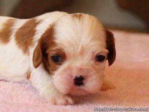 キャバリア子犬販売、女の子(メス)、ブレインハイム、2017年04月18日産まれ、神奈川県ブリーダー、ID10843