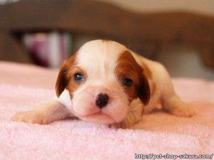 キャバリア子犬販売、女の子(メス)、ブレインハイム、2017年04月18日産まれ、神奈川県ブリーダー、ID10844