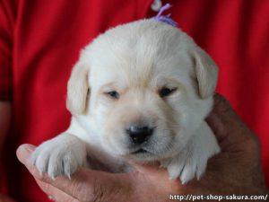 ラブラドールレトリーバー子犬販売、イエロー、女の子(牝、Female)、2017年06月09日産まれ、茨城県ブリーダー、お顔、ID10986
