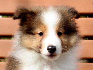 シェットランドシープドッグ(シェルティー)子犬販売情報、お顔、ID11428