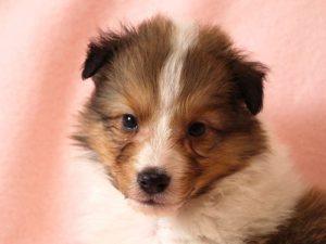 シェットランドシープドッグ(シェルティー)子犬販売情報、お顔、ID11485