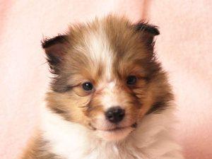 シェットランドシープドッグ(シェルティー)子犬販売情報、お顔、ID11486