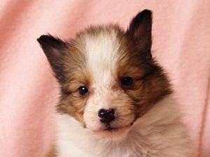 シェットランドシープドッグ(シェルティー)子犬販売情報、お顔、ID11487