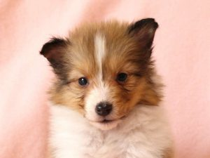 シェットランドシープドッグ(シェルティー)子犬販売情報、お顔、ID11489