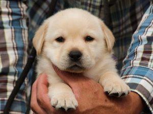 ラブラドールレトリーバー子犬販売、イエロー、女の子、お顔、ID11790