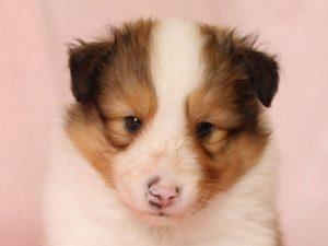 シェットランドシープドッグ(シェルティー)子犬販売、男の子、お顔、ID11972