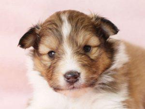 シェットランドシープドッグ(シェルティー)子犬販売、男の子、お顔、ID11979