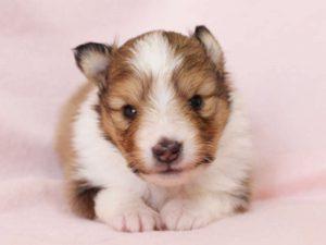 シェットランドシープドッグ(シェルティー)子犬販売、男の子、正面、お顔、ID11980