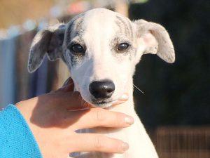 ウィペット子犬販売、女の子(牝、Female)、ホワイト&ブリンドル、2019年9月11日産まれ、千葉県ブリーダー、お顔、ID11709