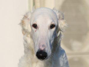 ボルゾイ子犬、女の子、2019年05月26日生まれ、ホワイト、千葉県ブリーダー、お顔、ID11703